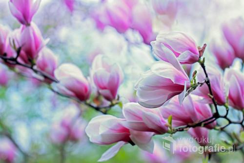 Krzew różowej magnolii ...