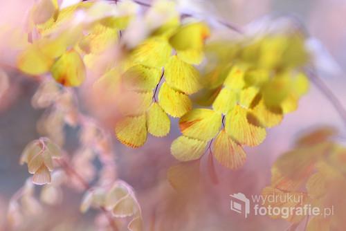 Liście żółte ...