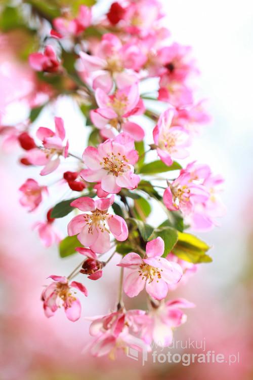 Gałązka kwitnącej jabłoni ...