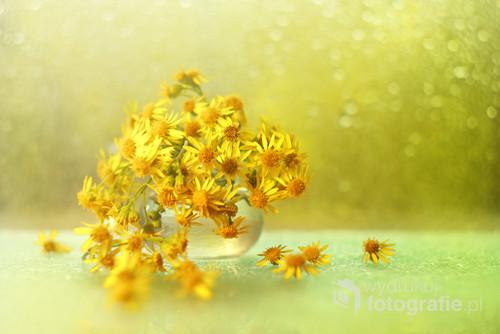 Żółte kwiaty starca