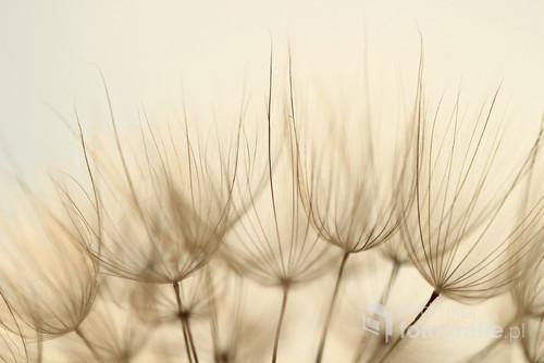 Kozibród łąkowy ...