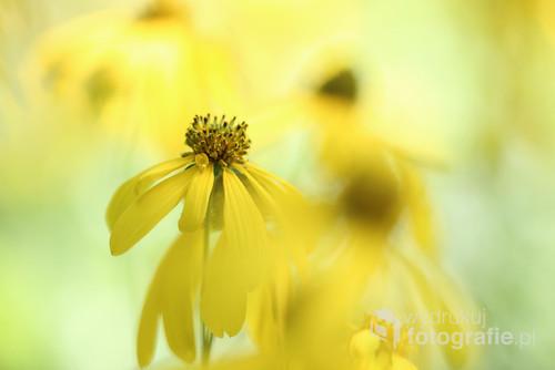 Żółte, jesienne kwiaty
