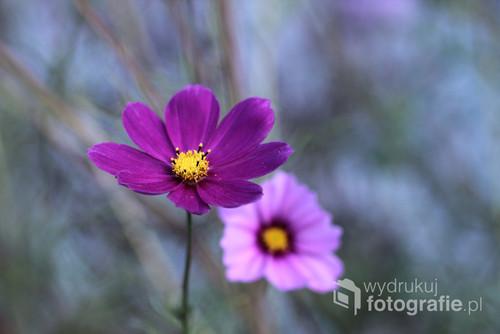 Liliowy kwiat kosmei ...