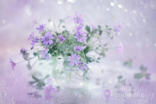 Kwiaty bodziszka ...