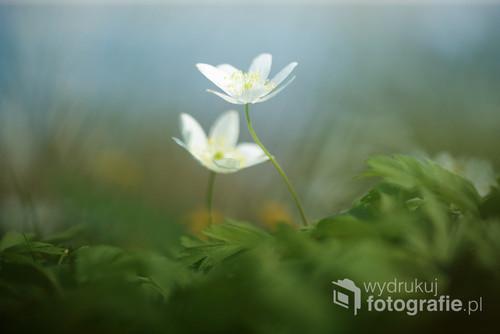 Białe kwiaty na dnie lasu ...