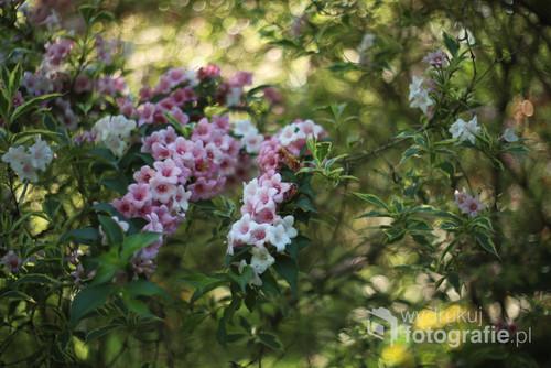Śliczne kwiaty krzewuszki wiosną ...