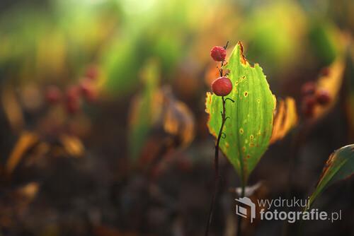 Przekwitnięte konwalie z owocami