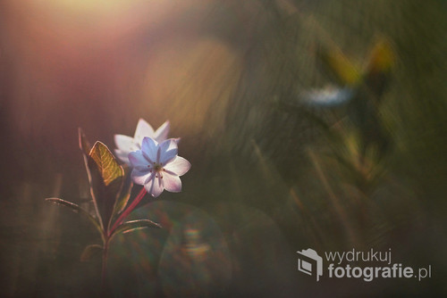 Zdjęcie kwitnących siódmaczków leśnych - jeden duży pierwszoplanowy i drugi lekko podświetlony w tle. Rozbłyski światła dodają niepowtarzalnego klimatu.