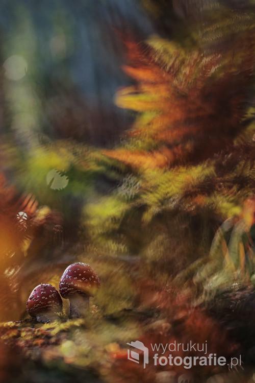 Muchomory czerwone na tle podświetlonych liści paproci - w jesiennym lesie. Zdjęcie zwyciężyło konkurs Związku Polskich Fotografów Przyrody w kategorii