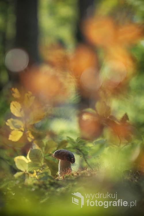Borowik w lesie wczesną jesienią gdy zieleń liści coraz częściej zastępowana jest kolorem żółtym i pomarańczowym.