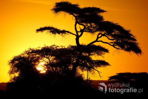 Afrykańska akcja o wschodzie słońca, w cieniu góry Kilimanjaro. Kenia, grudzień2014.