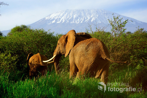 Rodzina słoni afrykańskich na tle góry Kilimanjaro. Kenia, grudzień 2016.
