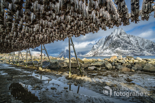 Stockfish hanging in the winter in Reine, Lofoten Islands, Norway.