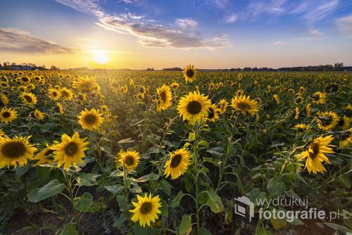 Zachód słońca na polu słoneczników. Polska.  Beautiful sunset over sunflower field