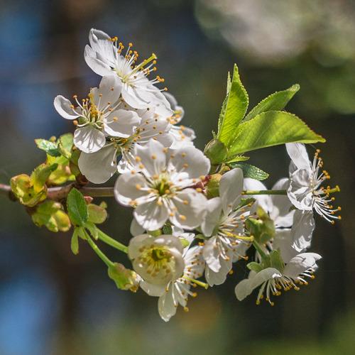 Wiosenny kwiat jednego z drzew owocowych.