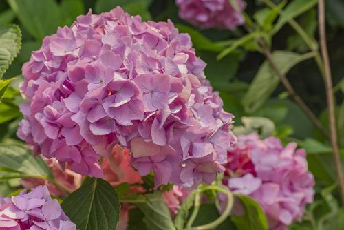Kwitnący kwiat piwonii w kolorze różowym.