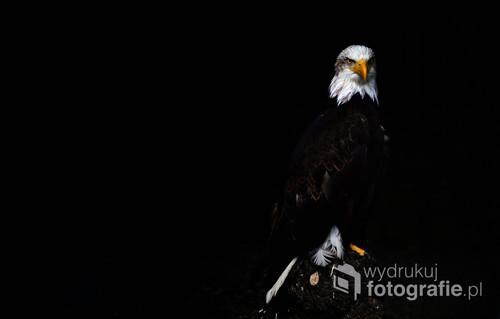 Majestatyczny Bielik Amerykański. Zdjęcie bierze udział w wystawie FotoArt Festival 2019