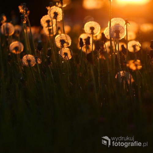 Dmuchawce to zmora alergików, ale też niezwykle wdzięczny obiekt do fotografowania.