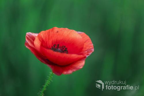 Bardzo lubię czerwień maków i cieszę się każdym napotkanym kwiatem, może dlatego, że w okolicy, w której mieszkam, maków jest jak na lekarstwo...