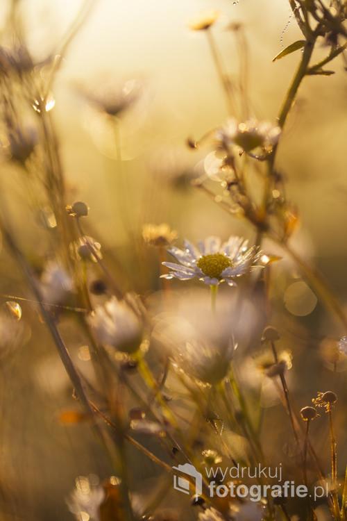 Październik i listopad 2018 roku były wyjątkowo łaskawe - jeszcze w połowie listopada na łąkach można było znaleźć polne kwiaty, zroszone poranną rosą.
