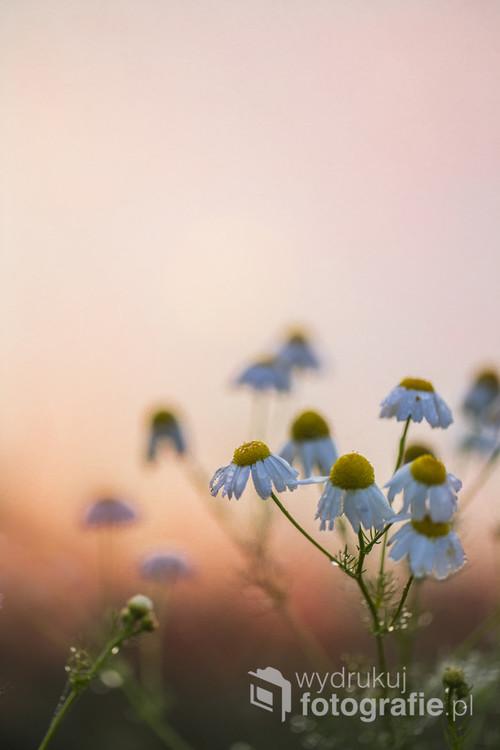 Jesienne kwiaty rumianku w promieniach wschodzącego słońca