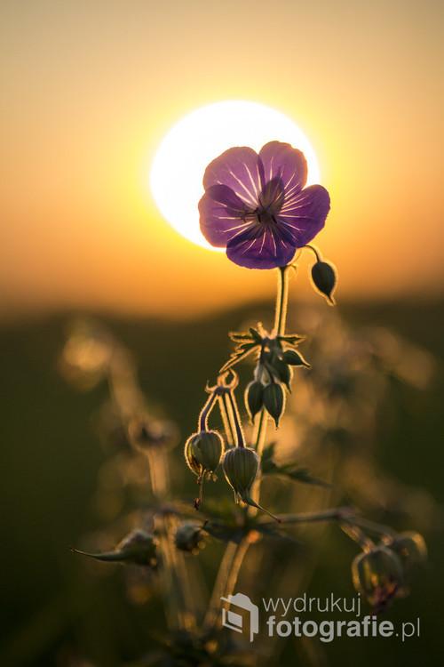 Sierpniowe słońce ma niesamowity kolor i daje piękne światło, które wraz z polnymi kwiatami daje wspaniałe efekty.