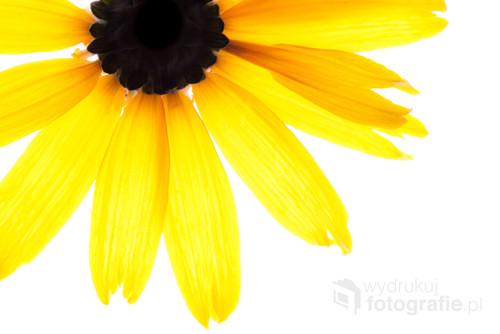 Żółty kwiat na białym tle. Zdjęcie zrobione w październiku 2015 roku.