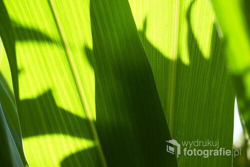 Pole kukurydzy w słoneczny dzień.