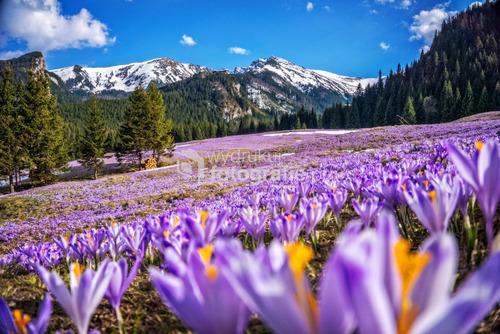 Kalatówki, krokusy, wiosna, kwiaty, Kasprowy Wierch, zawracik Kasprowy,