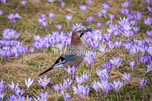 Kalatówki, krokusy, wiosna, kwiaty,