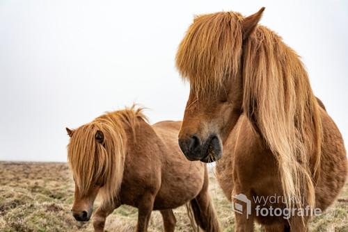 Islandzkie konie I