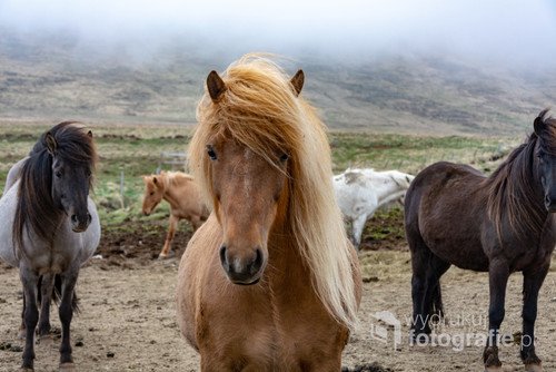Islandzkie konie II