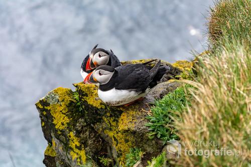 Puffin, maskonur na Látrabjarg najdalej wysuniętym na zachód miejsce na Islandii i jednocześnie największym miejscu lęgowym ptactwa w Europie