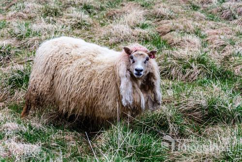 Owca, Islandia