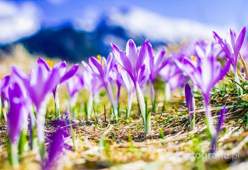 Fotografia została wykonany w tatrach na Polanie Kalatówki. Podczas zdjęć wiał silny wiatr, dlatego został użyty bardzo jasny obiekty jak i błyskawicznie szybki czas naświetlania co pozwoliło uzyskać bardzo dobrą ostrość podczas ruchu kwiatów jak i pięknie zamazany drugi plan.