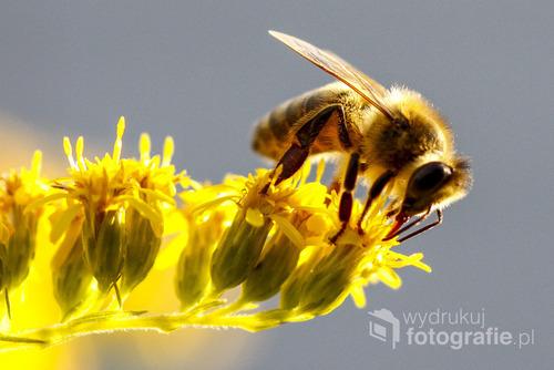 Pszczoła na kwiecie nawłoci, pasieka w Warszawie, sierpień 2016