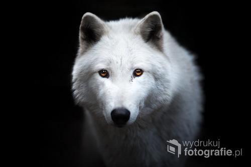 Portret wilka arktycznego.  Zdjęcie jest częścią projektu Untamed Spirits przedstawiającego prawdziwe dusze dzikich - i nie tylko - zwierząt, takich jak lisy, wilki ale także psy ras takich jak Wilczak Czechosłowacki czy Wolfdog Amerykański w mrocznych okolicznościach przyrody, klimatycznych lasach, jeziorach.