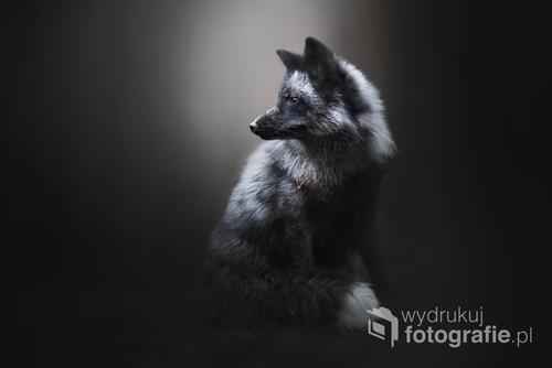 Portret Lisa Srebrnego   Zdjęcie jest częścią projektu Untamed Spirits przedstawiającego prawdziwe dusze dzikich - i nie tylko - zwierząt, takich jak lisy, wilki ale także psy ras takich jak Wilczak Czechosłowacki czy Wolfdog Amerykański w mrocznych okolicznościach przyrody, klimatycznych lasach, jeziorach.