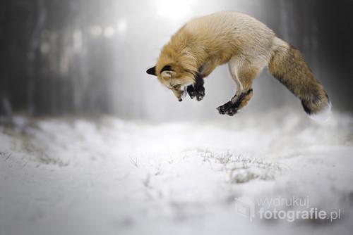 Lis podczas polowania.