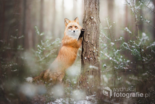 Zaciekawiony rudy lis.  Zdjęcie jest częścią projektu Untamed Spirits przedstawiającego prawdziwe dusze dzikich - i nie tylko - zwierząt, takich jak lisy, wilki ale także psy ras takich jak Wilczak Czechosłowacki czy Wolfdog Amerykański w mrocznych okolicznościach przyrody, klimatycznych lasach, jeziorach.