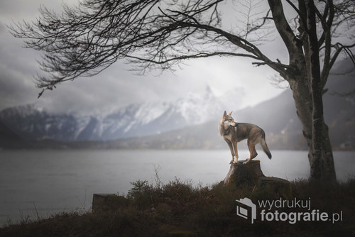 Wilczak Czechosłowacki nad jeziorem Grundlsee w Austrii.   Zdjęcie jest częścią projektu Untamed Spirits przedstawiającego prawdziwe dusze dzikich - i nie tylko - zwierząt, takich jak lisy, wilki ale także psy ras takich jak Wilczak Czechosłowacki czy Wolfdog Amerykański w mrocznych okolicznościach przyrody, klimatycznych lasach, jeziorach.