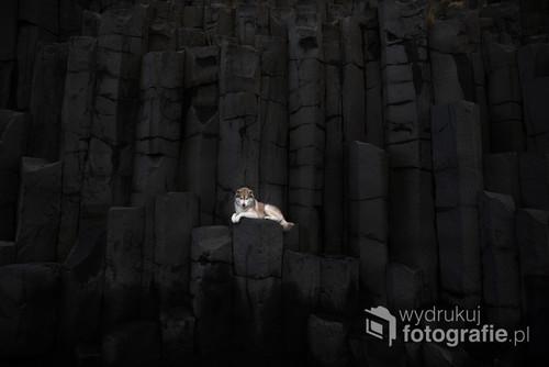 Pies rasy husky na bazaltowej ścianie na plaży Reyjnisfjara na Islandii.