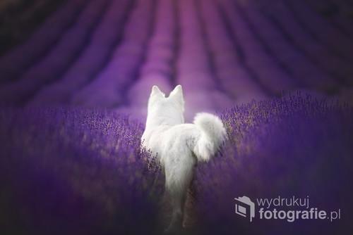 Pies rasy Biały Owczarek Szwajcarski w polu lawendy.