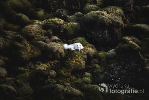 Pies rasy Samoyed odpoczywający na ścianie islandzkiego mchu.