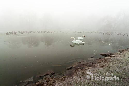 Widok stawu z kaczkami i parą łabędzi w bardzo gęstej mgle.  Grudzień 2016.