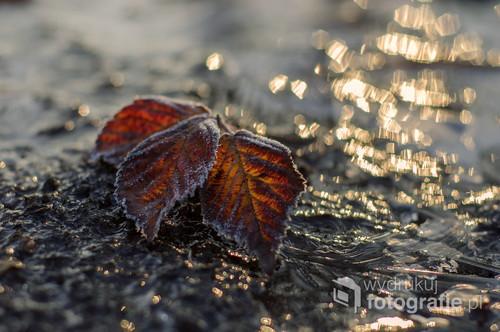 Jesienny liść po pierwszych przymrozkach.