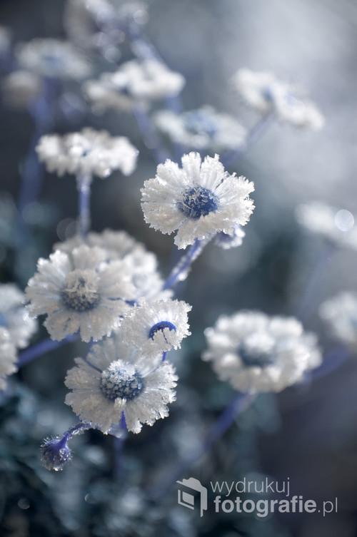 Oszronione kwiaty
