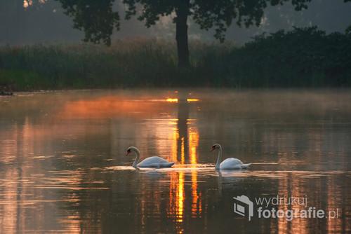 Dwa łabędzie o świcie.