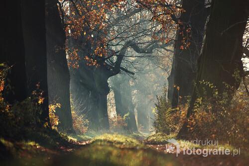 Alejka dębowa jesienią lekko oświetlona pierwszymi promieniami słońca.