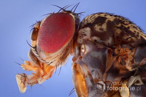Bohaterką fotografii jest maleńka muszka owocowa zwana również owocówką. Jej nazwa gatunkowa to Drosophila melanogaster. Zdjęcie było publikowane ma łamach magazynu Digital Camera Polska.